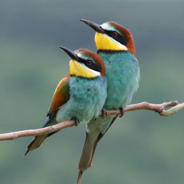 Tad Fyock European Bee Eaters
