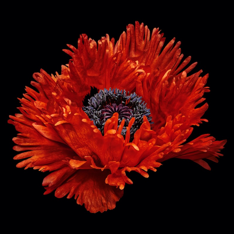 Great Scarlet Poppy
