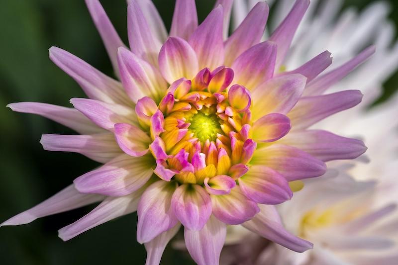 Pink Dahlia No. 1