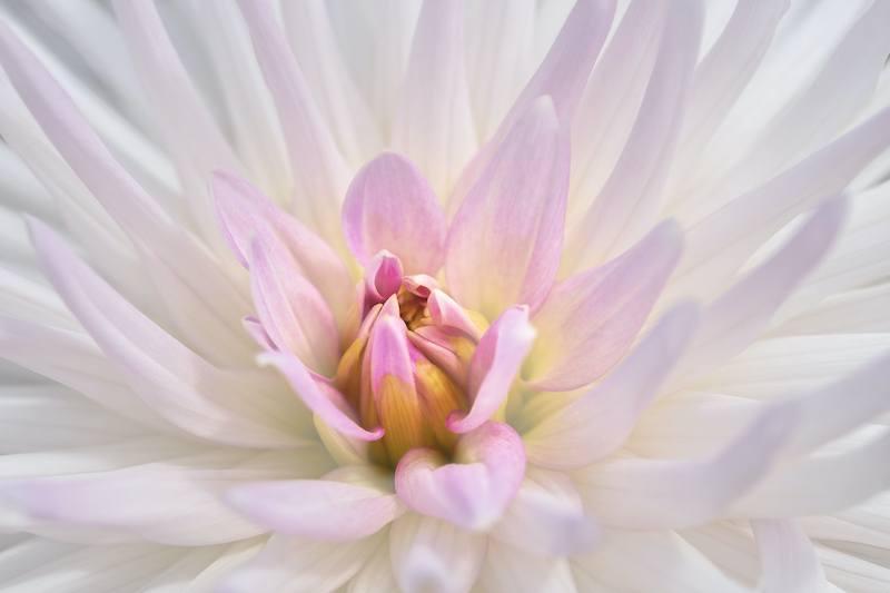 Sweet White Dahlia