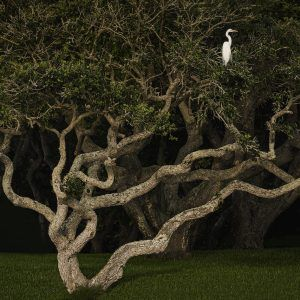 Egret In Tree 16x24 High Res_
